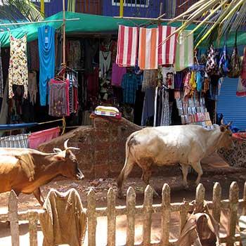 Voyage Inde : Vaches Goa